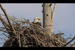 Embedded thumbnail for Morganza Spillway Eagle